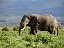 The African Bush Elephant is the largest living terrestrial animal.