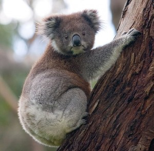 Koala climbing tree - wikimedia commons